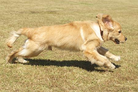 盲導犬の子犬の散歩