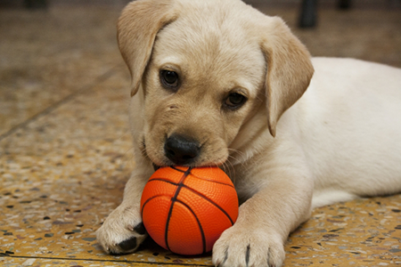 盲導犬候補の子犬の暮らしは?